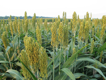 Crops with greater drought tolerance
