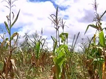 Crops with poor drought tolerance