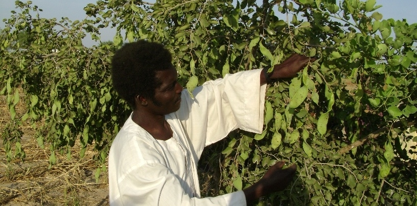 FMNR farmer with edible pods